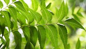 बिलासपुर में नीम पेड़
