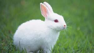 खरगोश