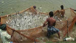 मछली पालन