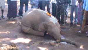हाथी का मृत शावक-कोरबा