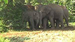 हाथियों का झुंड