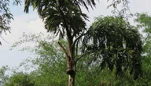 सल्फी पेड़
