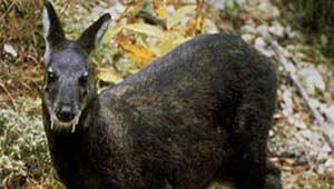 काला हिरण